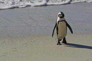 afrikanischer Pinguin am Felsbrockenstrand in Südafrika foto