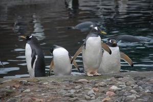 Pinguine foto