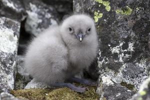 Südpolares Skua-Küken, das nahe dem Nest sitzt