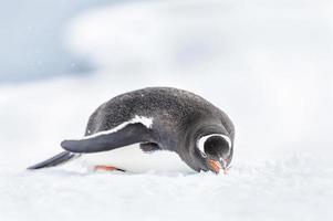 Pinguine der Antarktis foto