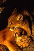 schläfrige Berglöwe weiblich und Kätzchen foto