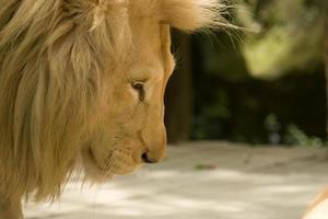 Löwenprofil foto