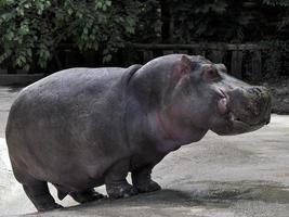 Nilpferd im Zoo foto