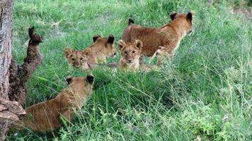 Tiere in freier Wildbahn, Masai Mara National Reserve, Kenia foto