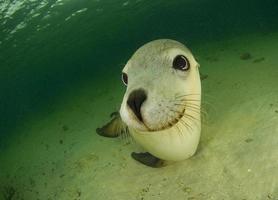 australischer Seelöwe foto