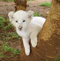weißes Löwenbaby in einem Baum foto