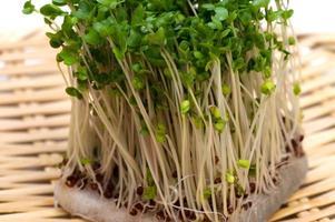 Brokkolisprossen-Brassica oleracea foto