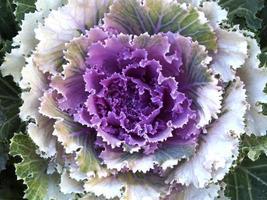 frischer Blumenkohl foto