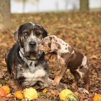 Louisiana Catahoula Hund mit entzückendem Welpen im Herbst foto