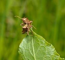 zwei Squash Bugs