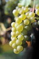 Nahaufnahme der Weintraube foto