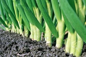 Zwiebelplantage