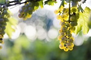 weiße Weintraube am Rebstock foto