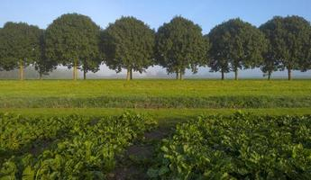 Rübe wächst auf einem Feld im Herbst