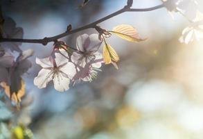 schöne rosa Kirschblüte und Blatt foto