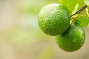 grüne Zitronenfrüchte.