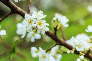 Pflaumenblüte mit weißen Blüten. foto