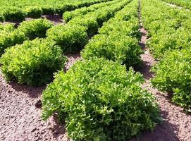 Salatfeld foto