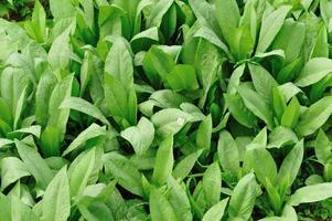 indische Salatpflanze foto