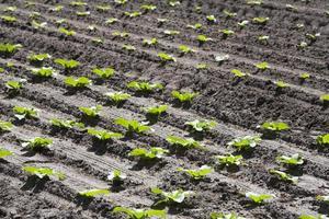 gepflanztes Salatfeld