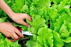 Salatpflanze ernten