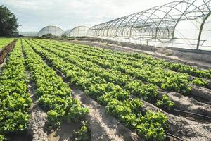 Salatplantagenfeld foto