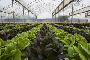 Salatkulturen im Gewächshaus foto