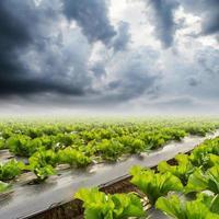 Salat auf Feld und Regenwolken