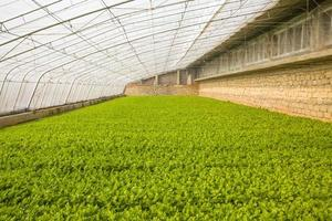 Gemüsegewächshäuser foto