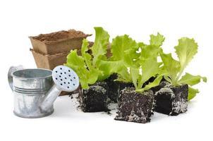 Salattriebe