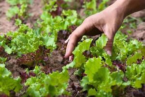 Hand der Frau, die Salat sammeln wird