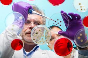 Senior Life Science Forscher, der Bakterien transplantiert. foto