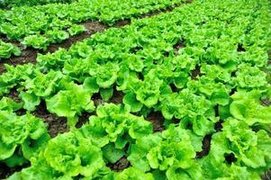 Salatpflanzen im Garten foto