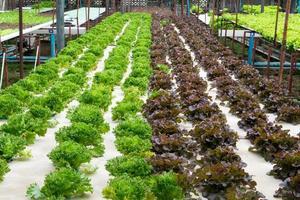 Hydroponisches Gemüse, das im Gewächshaus wächst