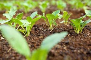 Salatplantage foto