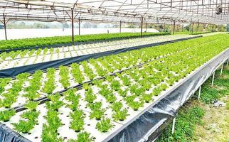 Hydrokulturverfahren zum Züchten von Pflanzen unter Verwendung mineralischer Nährlösungen foto