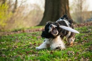 Cockerspanielhund, der einen Frisbee im Park mit Gras fängt foto