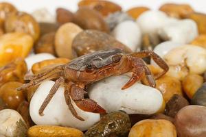 Krabbe auf dem Felsen foto