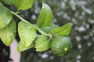 Zitronenbaum foto