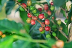 Kaffeebaum foto