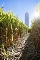 Maislabyrinth, das zum Silo mit Sonnenstrahl führt foto
