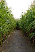 verloren in einem Maislabyrinth foto