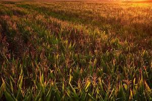fantastisches Sonnenlicht über Mais foto