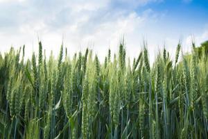 junger Weizen foto