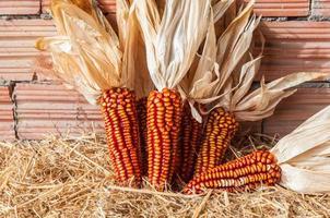 Einige Corcobs wurden kürzlich geerntet. roter Mais foto