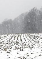 Schneesturm in einem Getreidefeld foto
