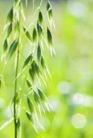 Nahaufnahme von grünen Haferohren foto