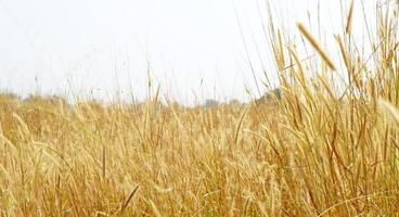 reife gelbe Weizenähren