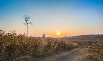 Maisfeld bei Sonnenuntergang