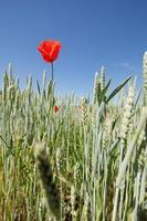 Mohn auf einem Weizenfeld foto